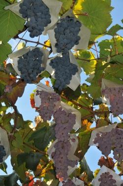ぶどうとワインの町『勝沼』散策・ぶどう畑が広がる町の風景