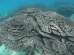 延岡マリンサービス・オオスリバチ珊瑚