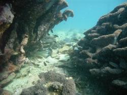 延岡マリンサービス・藤木撮影オオスリバチ珊瑚