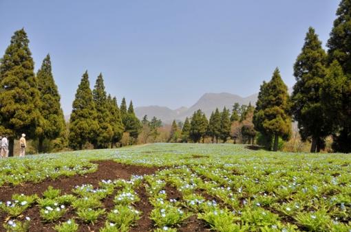 くじゅう花公園・西日本最大級のネモフィラ畑(4月23日撮影時3分咲き)